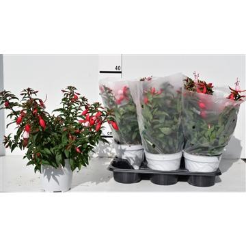 Fuchsia bella 'Evita' pot 14