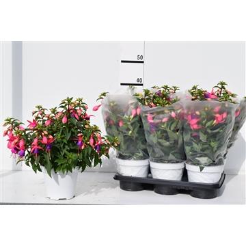 Fuchsia Bella ' Mariska' pot 14