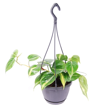 Philodendron Scandens 'Brasil' in hangpot