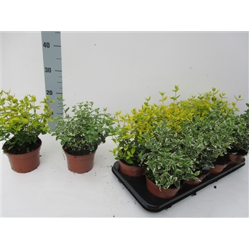 Euonymus fortunei Mix Gold/Gaiety  -  PPP PER TRAY