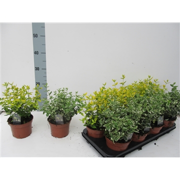 Euonymus fortunei Mix Gold/Gaiety  - PPP PER PLANT
