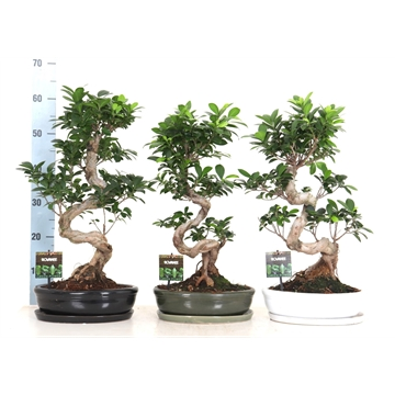 Ficus micr. S-type in ovale schaal + schotel zwart, groen en wit