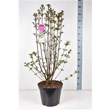 Artikel #352703 (213160530: Syringa pinnatifolia C15)