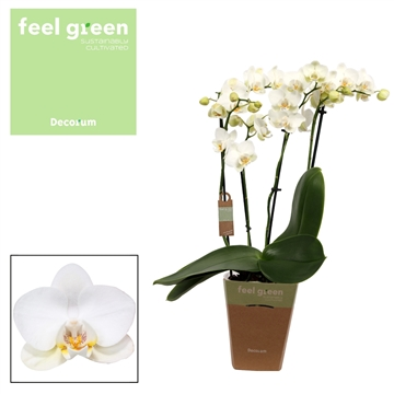 Phal. Reyoung Adora - 4 spike 12cm Feel Green