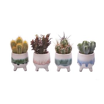 L 712 with Cactus Mix 6 cm