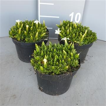 Gentiana verna angulosa wit p13