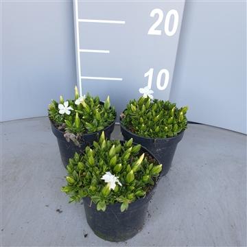 Gentiana verna angulosa wit p10.5