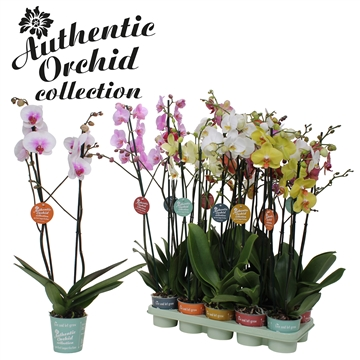 Phal. Mix - 2 spike 12cm Authentic