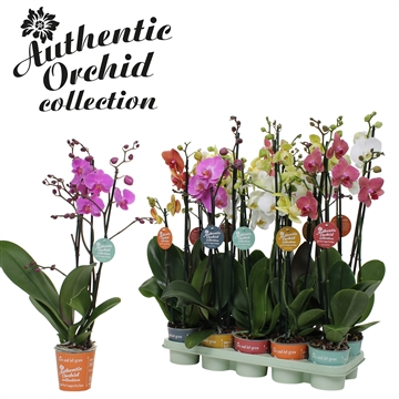 Phal. Mix - 3 spike 12cm Authentic