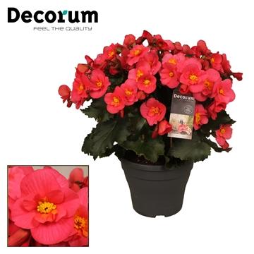 Begonia 'belove pink'