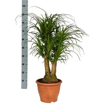Beaucarnea 26 cm vertakt