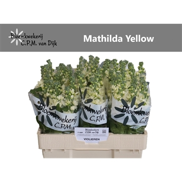 Mathilda Yellow