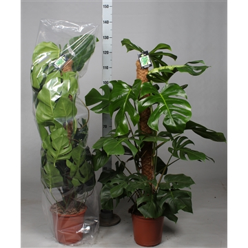 Monstera Pertusum 120mos Dikte 2