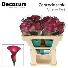 Zantedeschia Cherry Kiss