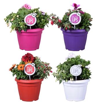 MoreLIPS® Spring trio in patiopot 'April Mix'