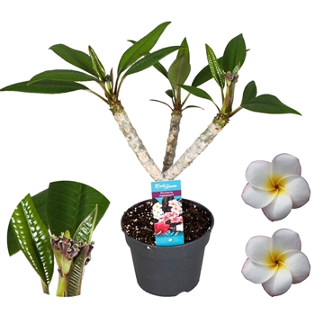 Closed flowers Plumeria Hawaiian  Pearl (White)