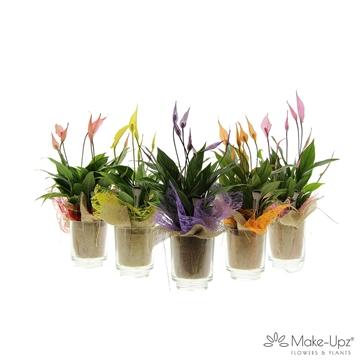 Spathiphyllum 13 cm 'Bellini®' Make-upz in Glas met doekje