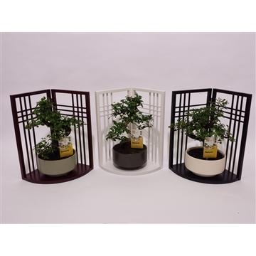 Bonsai in 'Japanese Screen'