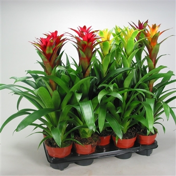 Guzmania Bicolor Green-Mix