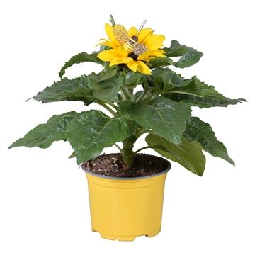 Helianthus 'Sunsation' in gele kweekpot met vrolijke BIJ-steker