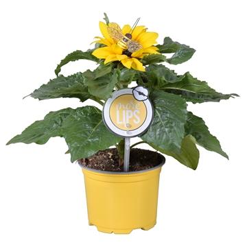 MoreLIPS® Helianthus in gele kweekpot met vrolijke BIJ-steker