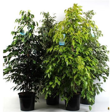 FICUS benjamina mixkar max. 4 soorten