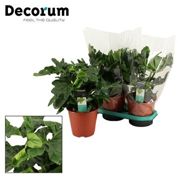 Philodendron Atom 19 cm - DECORUM