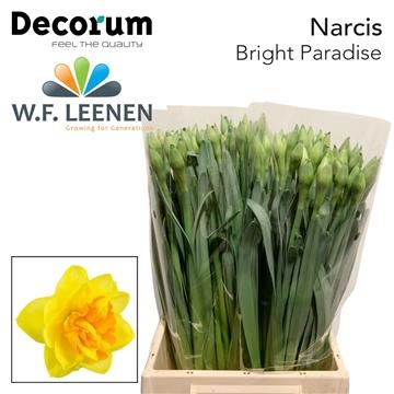 Narcissus Bright Paradise