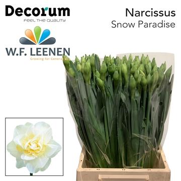 Narcissus Snow Paradise
