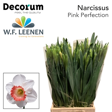 Narcissus Pink Perfection