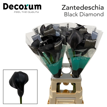 Zantedeschia Black Diamond.