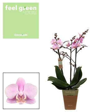 Phal. Beaution - 3 spike 12cm Feel Green
