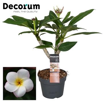 Plumeria Hawaiian vertakt Pearl(wit) Frangipani