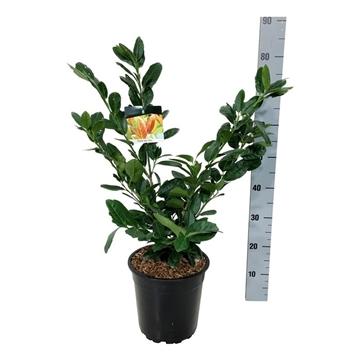 Prunus laur. 'titan'