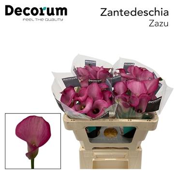 Zantedeschia Zazu