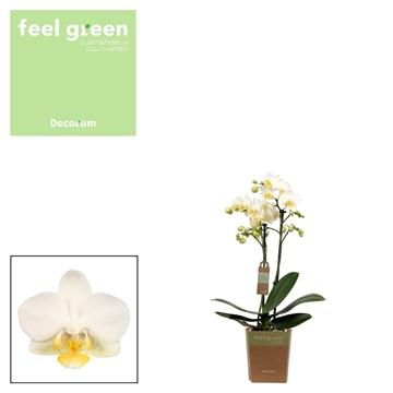 Phal. Edition - 2 spike 12cm Feel Green
