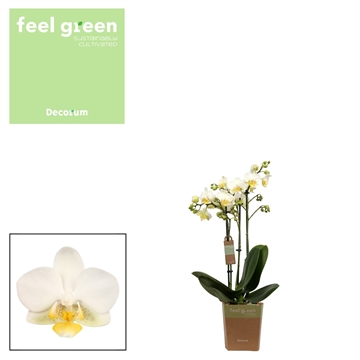 Phal. Edition - 3 spike 12cm Feel Green