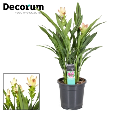 Curcuma Siam Solar (Yellow/red) 2 flower +