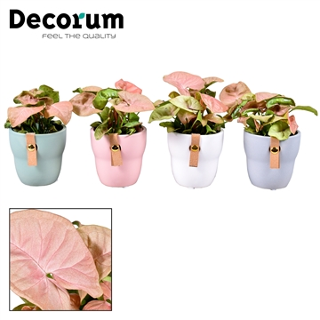 Collectie Dream Spirit - Syngonium Neon Robusta in pot Tiffany (Decorum)