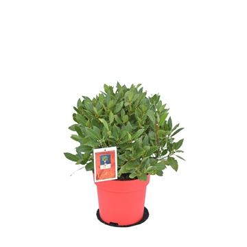 Laurus nobilis Bol zonder stam kerst