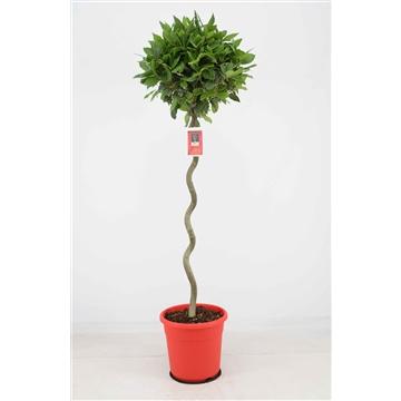 Laurus nobilis Spiraal stam