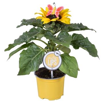 MoreLIPS® Helianthus in gele kweekpot met vrolijke Vlinder-steker
