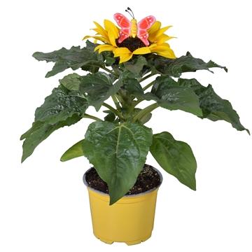 Helianthus 'Sunsation' in gele kweekpot met vrolijke Vlinder-steker