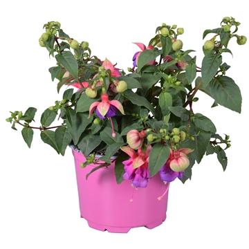 Fuchsia Bella Faya