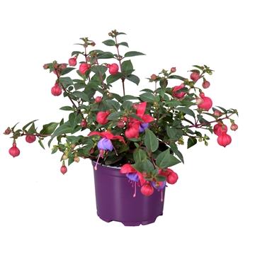 Fuchsia Bella Maria