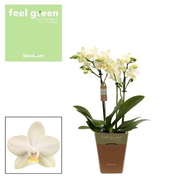 Phal. Golden Dawn - 3 spike 12cm Feel Green