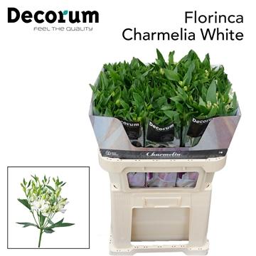 Flor Charmelia White  (kopie)