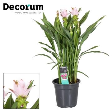 Curcuma  Swing 19 cm 3 bloem+