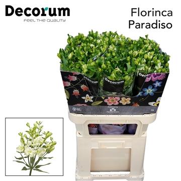Flor Paradiso