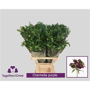 Flor Charmelia Purple